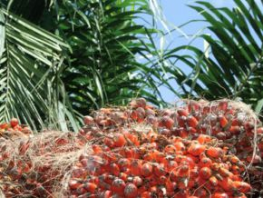 Cameroon has apparently engineered a variety of oil palm which rather benefited Malaysia