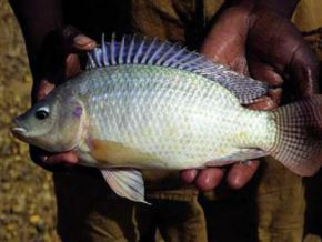 Is there really a risk of disease linked to the consumption of tilapia?
