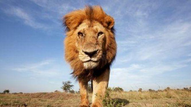 le-lion-est-il-vraiment-le-roi-de-la-foret-video
