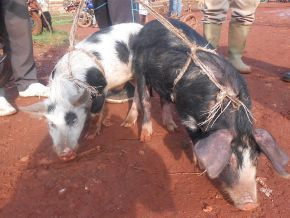 Is Dschang really the capital of pigs in Cameroon?