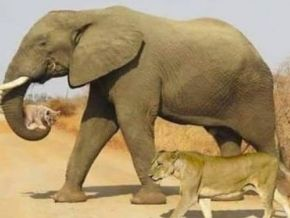 The picture of an elephant helping a lion cub is edited