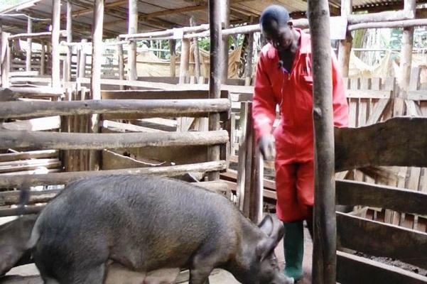 peste-porcine-africaine-le-gouverneur-du-nord-ouest-interdit-la-circulation-des-porcs-pour-circonscrire-la-maladie
