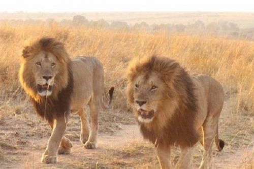 far-north-makary-residents-anxious-about-lion-possibly-wandering-around