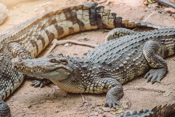 des-crocodiles-en-divagation-sement-la-panique-a-garoua