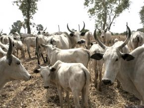 Yes, it is now forbidden to slaughter cattle less than 24 months old in Cameroon