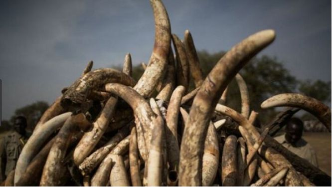 cameroon-requests-gabon-s-expertise-in-determining-the-geographical-origins-of-the-626-kg-of-tusks-seized-in-ambam