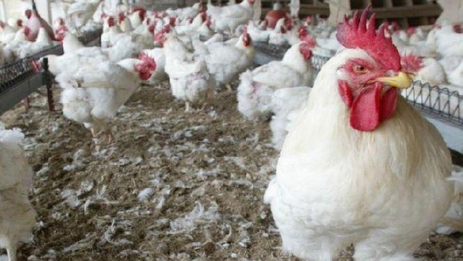 cameroon-on-alert-over-bird-flu