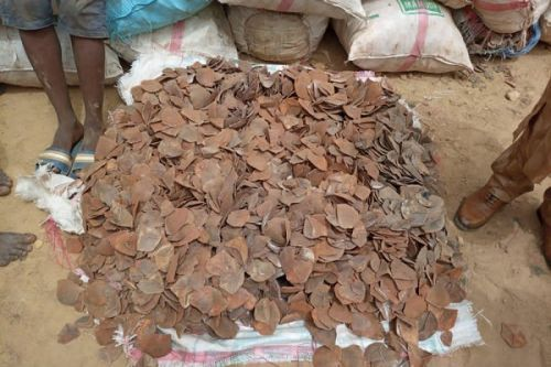 Customs officials seized 4.4 tons of pangolin scales in the north